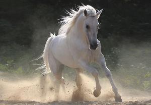 cavallino6